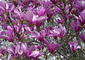 Magnolia In Bloom by Lust0fADeeperPain