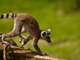 Ring Tailed Lemur 00 - Jun 13 by mszafran