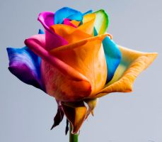 You like this Rainbow Rose ? by RAINBOWedROSES
