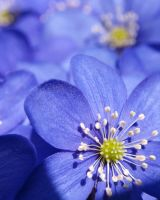 blue anemone sweden by stariander