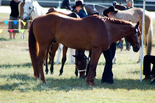 QH chestnut untacked by Chunga-Stock