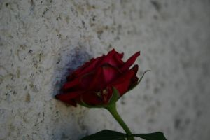 wall rose by pablour026