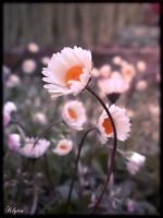 Daisies at twilight by Klytia70
