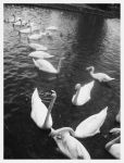 Swans are hungry by NowPictured
