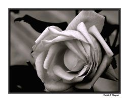 A Rose is a Rose... by David-A-Wagner