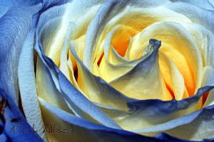 Ripples of a Rose by Mark-Allison