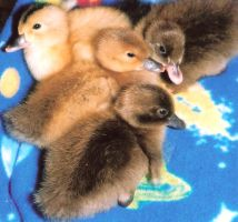 My Ducklings -Photograph by MarshmallowInvader