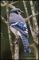 Blue Jay by tdawgs-photography