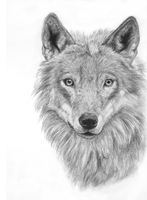 Old - Wolf Portrait by recycled-batteries