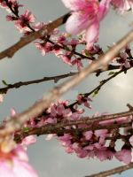 Blooming Branches. by Nlink10