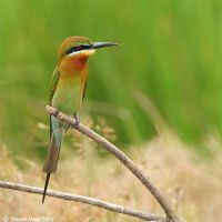 Blue-tailed Bee Eater 01 by garion