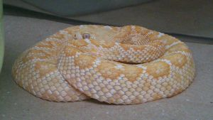 Little cute albino rattlesnake by LightSnake
