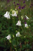 White columbines by LucieG-Stock