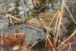 American Bittern predating on a Vole by Spirit-whales