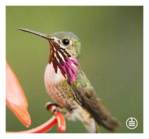 Small Hummingbird by manwithashadow