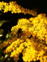 Hoverfly -- formerly 'Wasp' by vmulligan