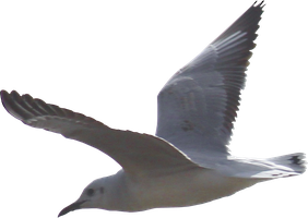 Seagull PNG #1 by bettadenu