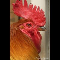 Animals 164 Rooster by cinnabarr