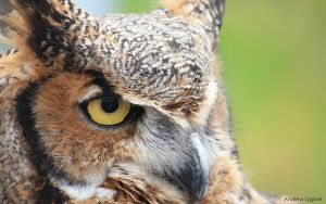 Great Horned Owl - 1920x1200 by PrimalOrB
