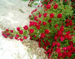 Red Rose Vines 3 by Falln-Stock