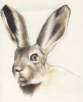 Hare by nef