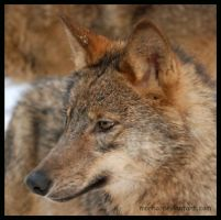 young iberian wolf by morho