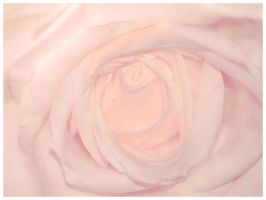 Pink Rose by Deadly-Tea-Party