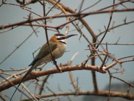 Bee Eater by viperxmns