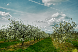 The Orchard In Spring by ladiespet