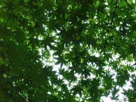 Green Momiji - Maple Tree by KisaragiChiyo