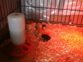 Baby Chicks by tima50