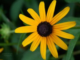 Black-eyed Susan by gwensaer
