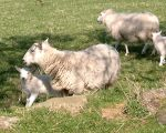 lambs of cute by cor7