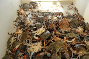 Crab Pile Stock Photo DSC 0342 by annamae22