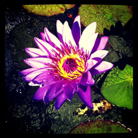 Water Lily 2 by Kata