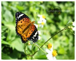 Indian Fritillary by Tsuchan