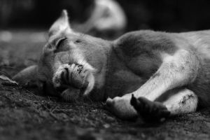 Sleeping Kangaroo by stinebamse