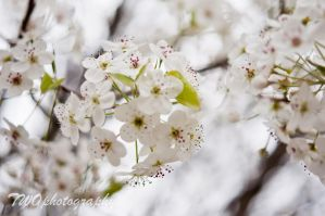 Pear Tree Blossom by TWOphotography