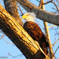 Squaw Creek Eagle V by FramedByNature