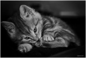 Chaton by Rayon2lune