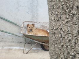 Dog in wheelbarrow by FuriarossaAndMimma