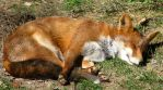 Wild animal 134 - sleeping fox by Momotte2stocks