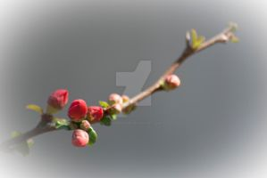 Flowering Quince by flowersteph