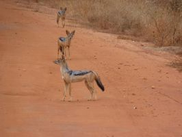 Black Backed Jackals by TheNewBlueBlood