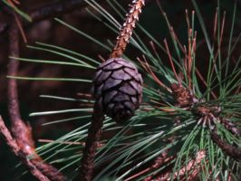 Pine 6 by luv2icesk8