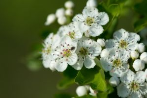 White Flowers and a Bug by kocy