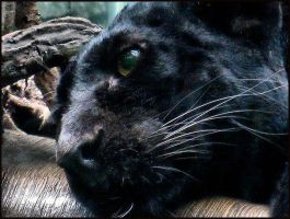 Black Leopard Stare by FicktionPhotography