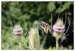 Butterfly on Thistle Plant by Sparten