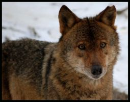 iberian wolf by morho