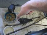 Feeding Young Grackles 2 by Windthin